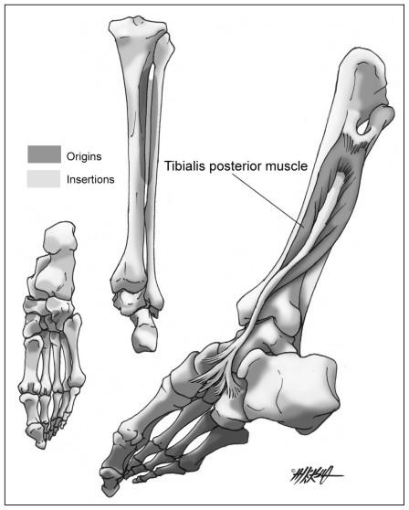 Fisioterapia Deportiva Músculo Tibial Posterior Rehabilitación