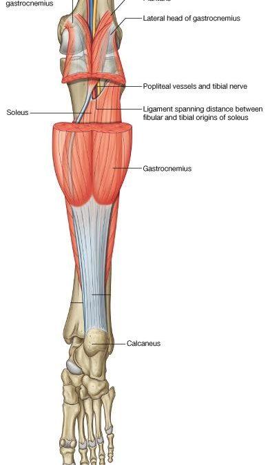 Músculo sóleo: anatomía patológica