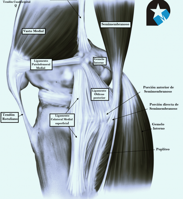 El aparato extensor de la rodilla