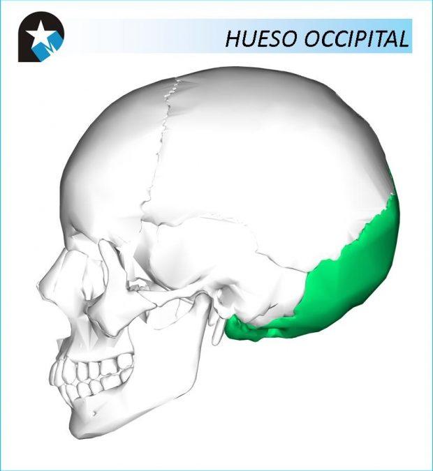 ANATOMÍA: Hueso Occipital