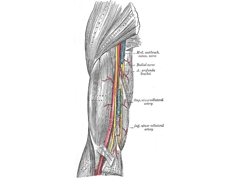 Nervio radial: cuál es y qué lesiones asociadas podemos sufrir