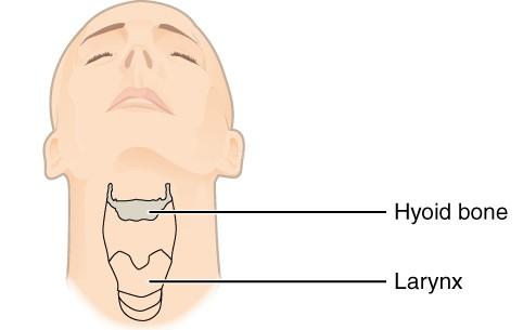 Fisioterapia orofacial: el hueso hioides